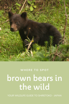 Brown bear cub in the grass with white text, Japan.