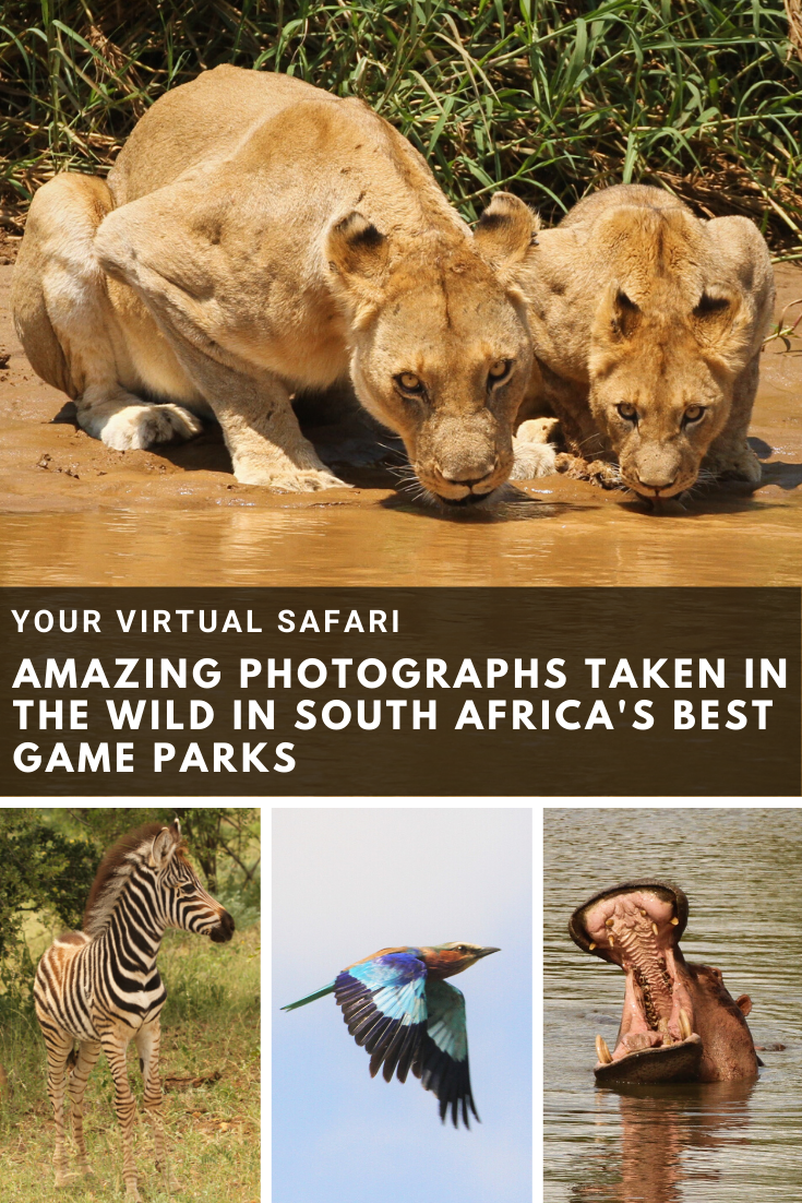 Drinking lions looking into the camer, young zebra, colourful bird and hippo with open mouth.