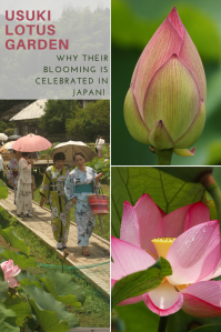 Japanese women in beautiful kimonos parading amongst pink lotus flowers in Usuki, Japan.