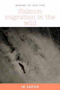 Wild salmon jumping up against a waterfall during its migration, Japan.