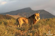 Beautiful wild male lion during a safari in the Karoo National Park, in the sunrise light