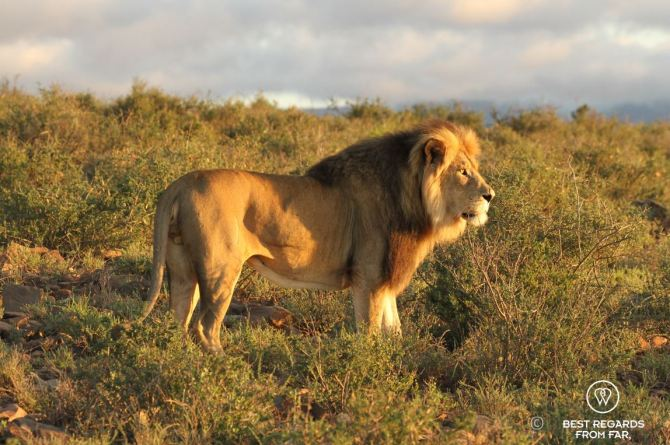Karoo Lion - Wildlife - South Africa (2)