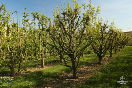 Orchard in the King's Kitchen Garden in Versailles: perfectly pruned fruit trees.