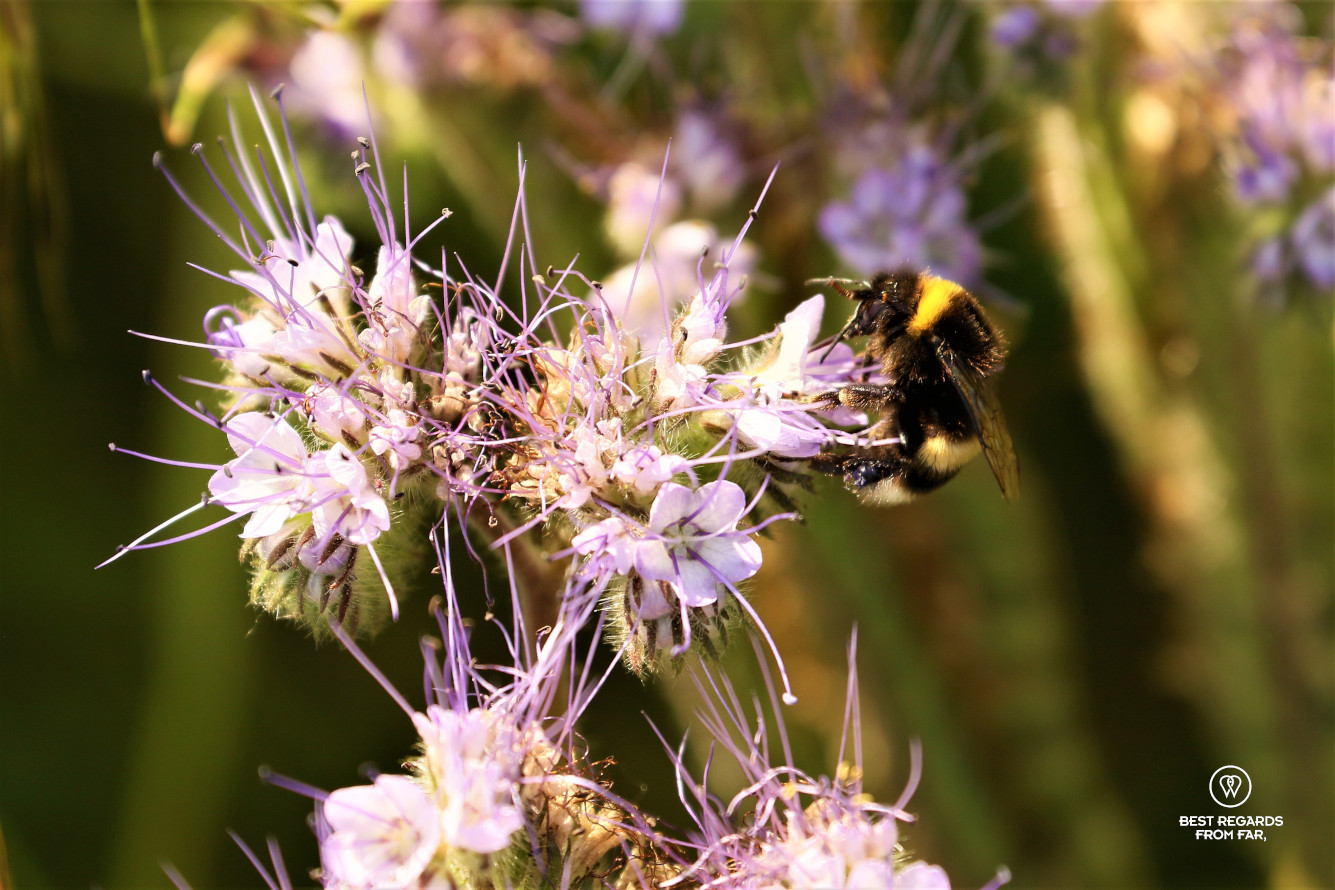 Bumblebee on a flower at the King's Kitchen Garden in Versailles.