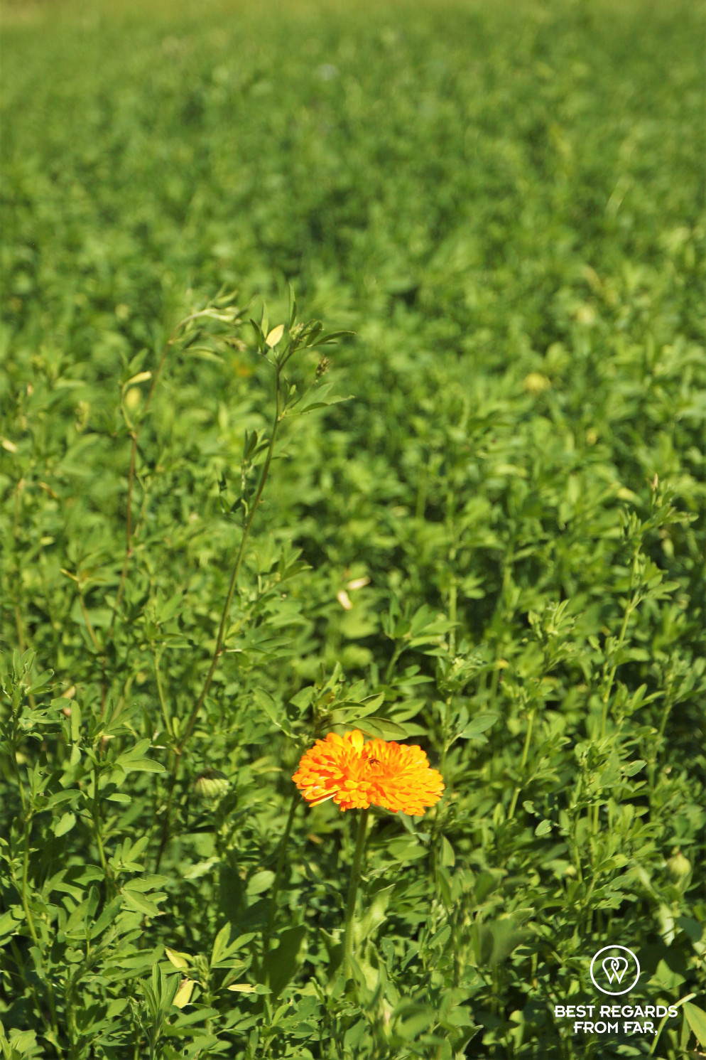Contrasts with a bright orange flower in a green field at the King's Kitchen Garden in Versailles.