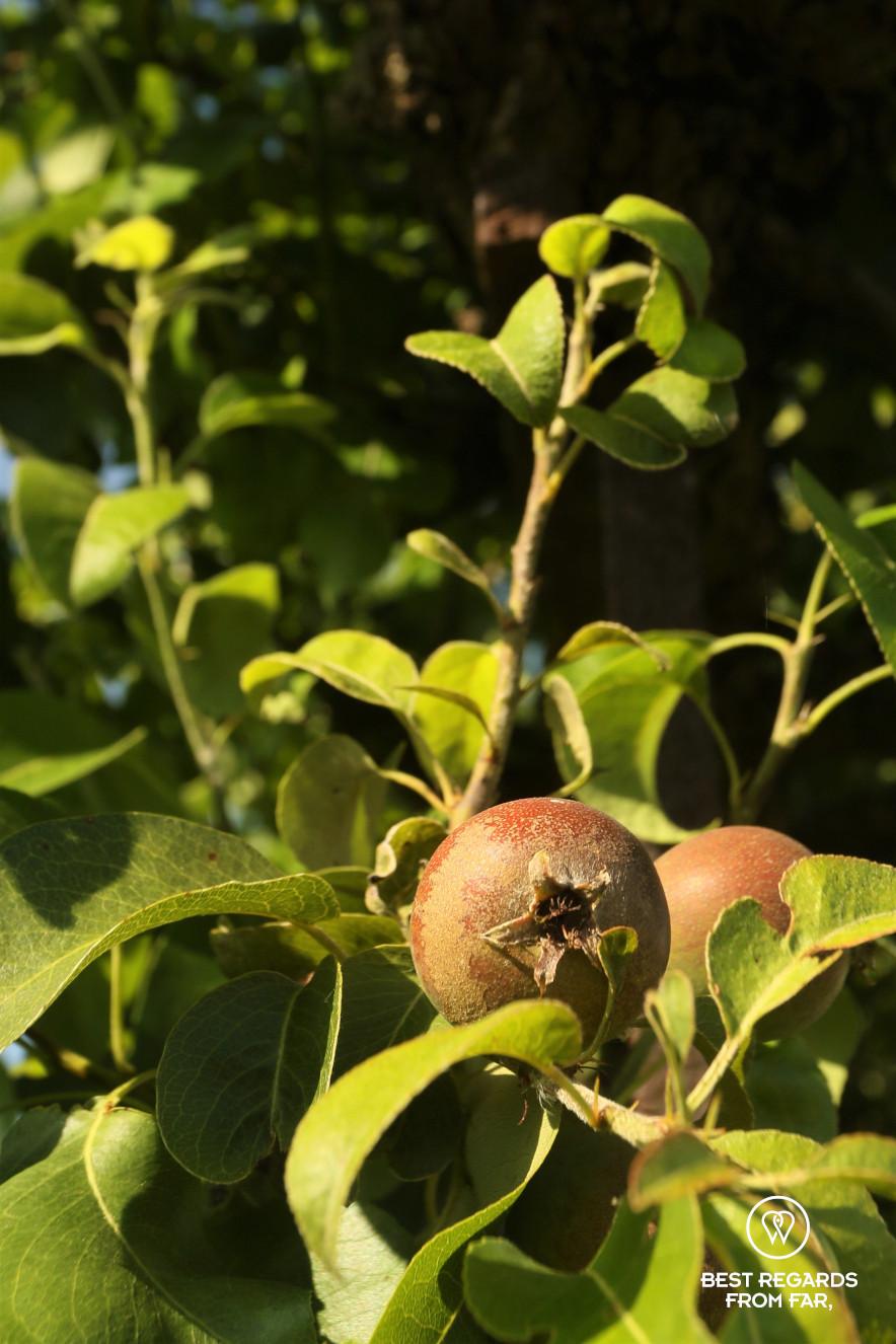 Fruits in the King's Kitchen Garden in Versailles.