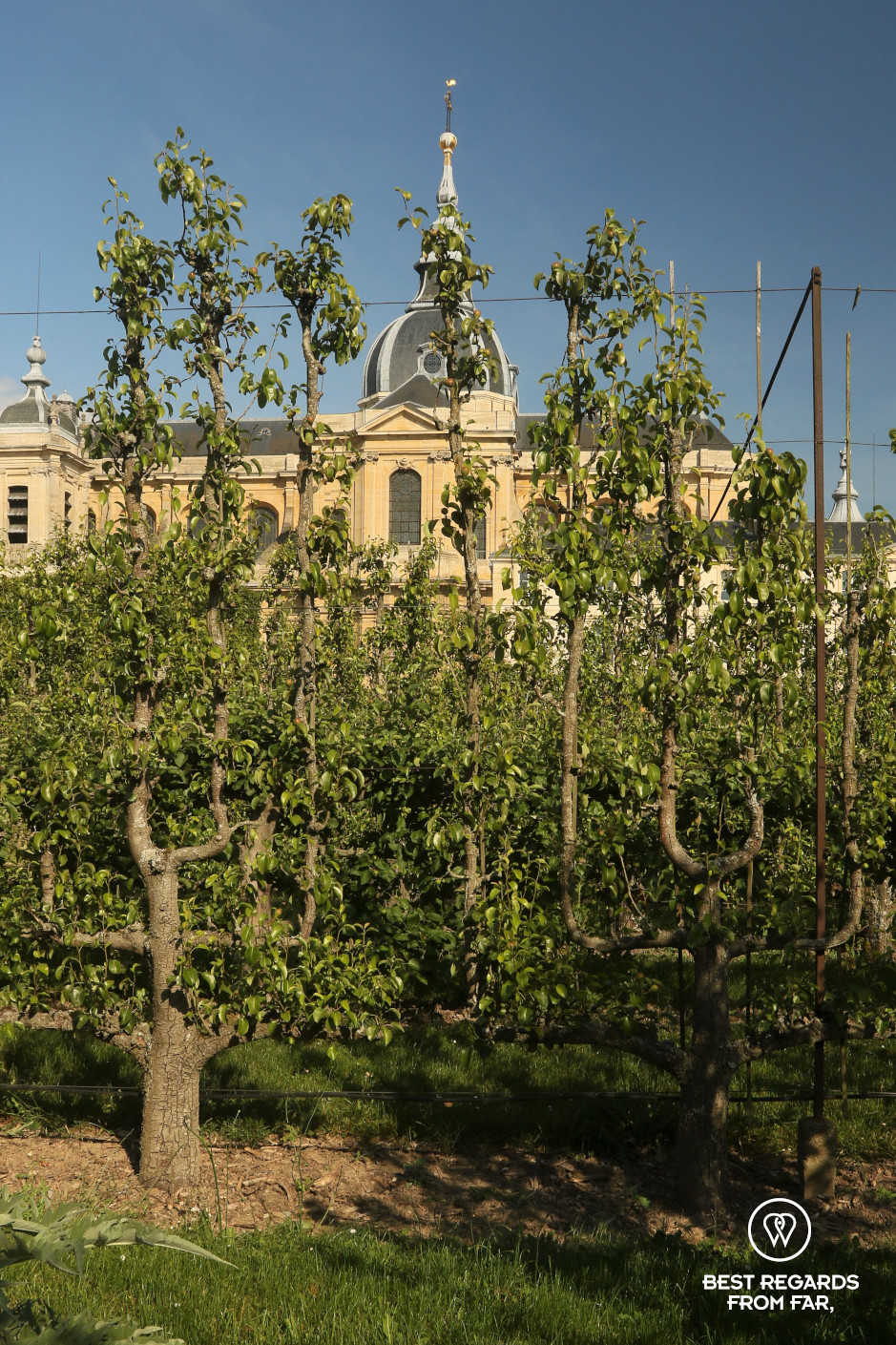 Orchard in the King's Kitchen Garden in Versailles: perfectly pruned fruit trees and historical cathedral in the background.