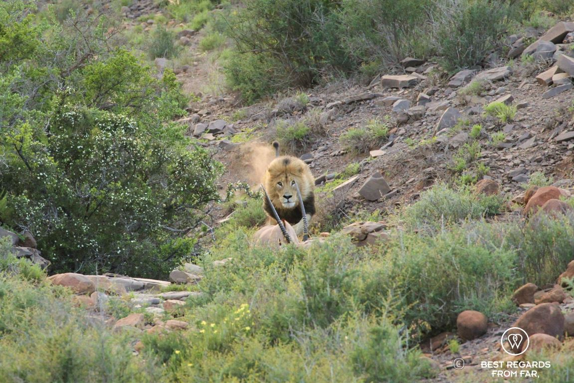 Wild male lion hunting an Oryx Gazelle in the Karoo National Park at sunrise, South Africa during a safari