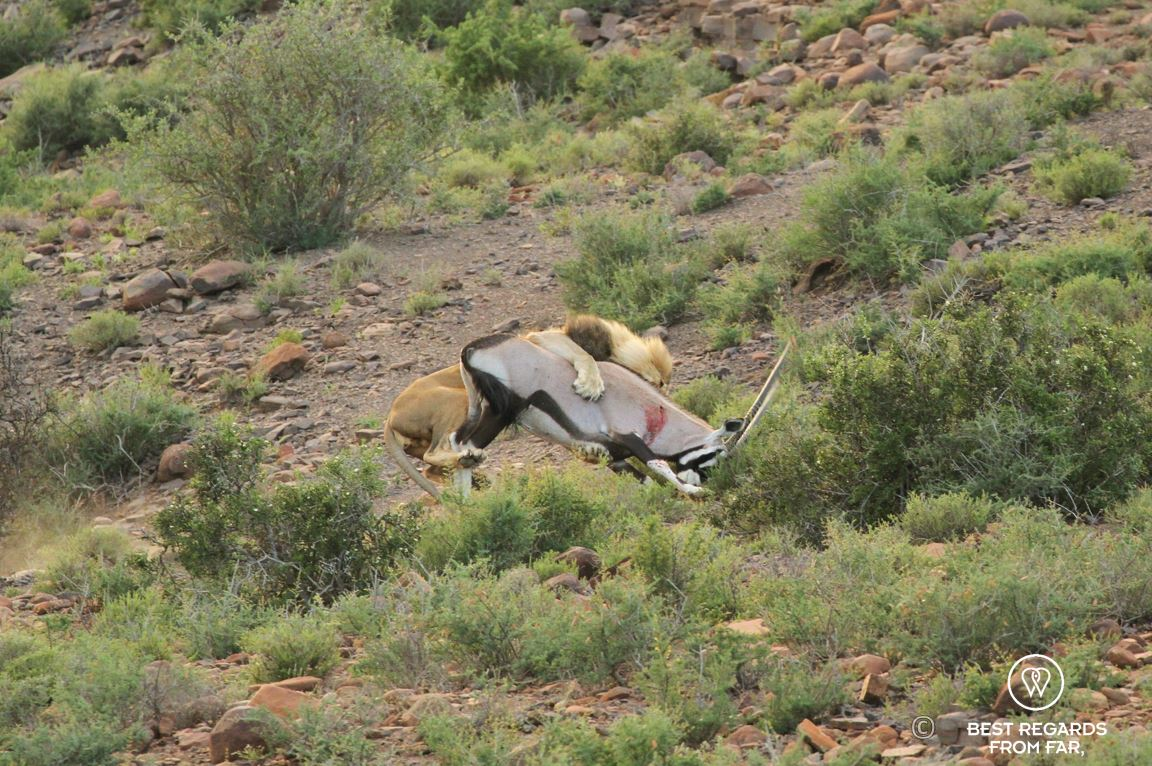 Wild male lion hunting and killing an Oryx Gazelle in the Karoo National Park at sunrise, South Africa