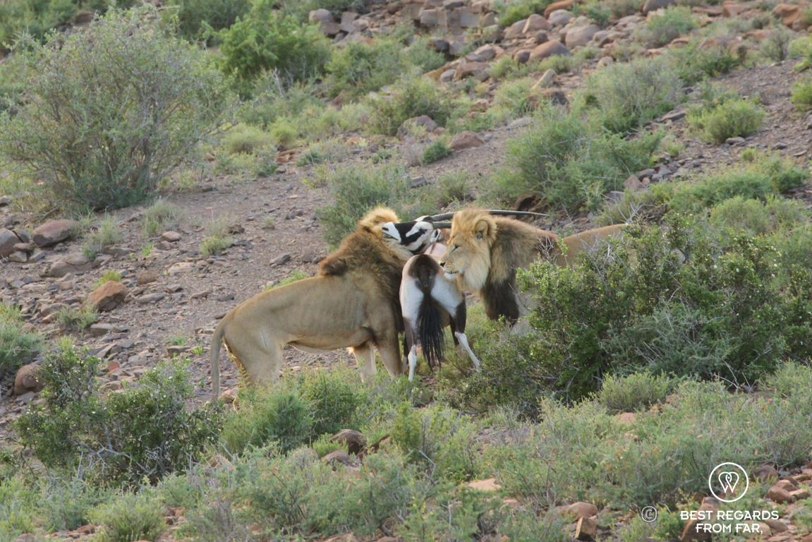 Wild male lions hunting and killing an Oryx Gazelle in the Karoo National Park at sunrise, South Africa