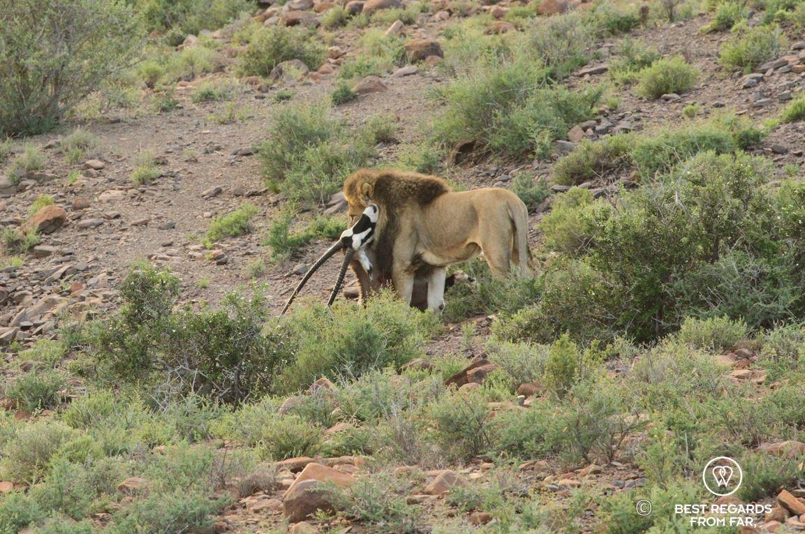 Wild lion killing an Oryx Gazelle in the Karoo National Park at sunrise, South Africa