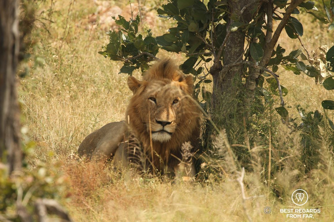 Wild male lion hiding in the shade in Kruger safari park, South Africa