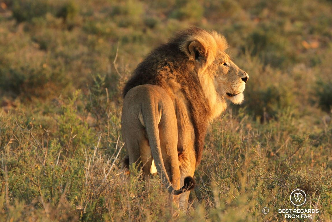 Beautiful wild male lion during a safari in the Karoo National Park, South Africa