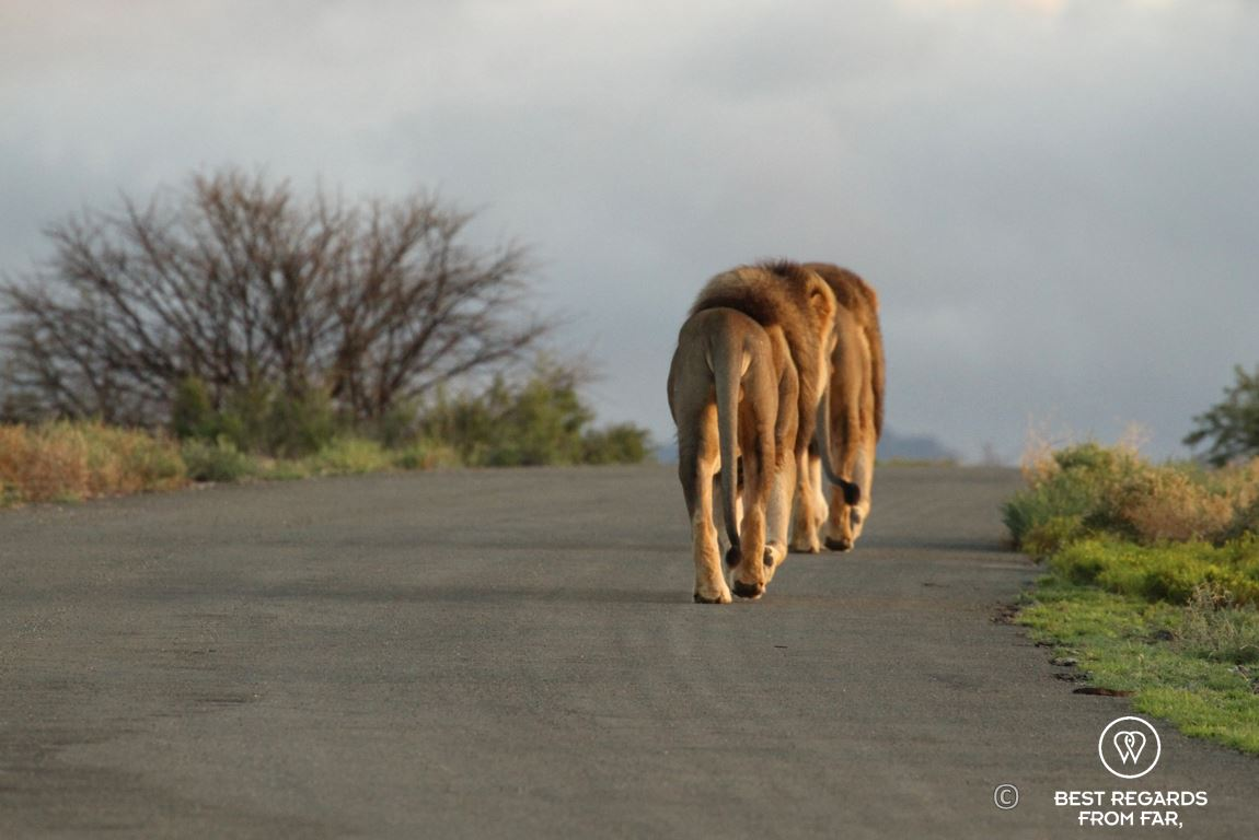 Two wild brother lions during a safari in the Karoo National Park, South Africa