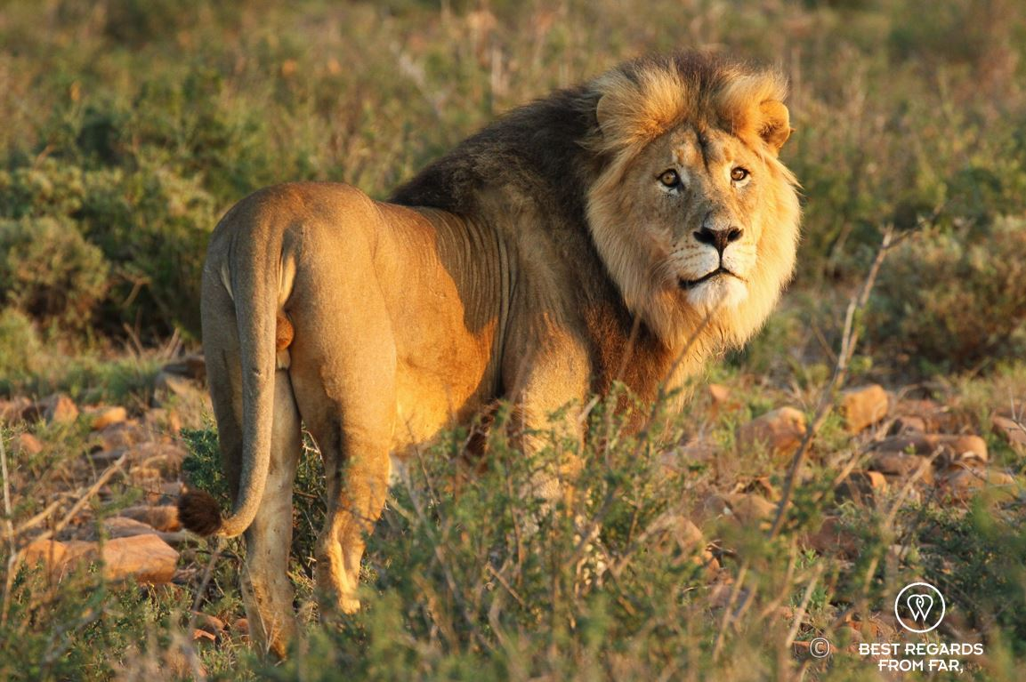 Beautiful wild male lion during a safari in the Karoo National Park, South Africa looking straight at the camera