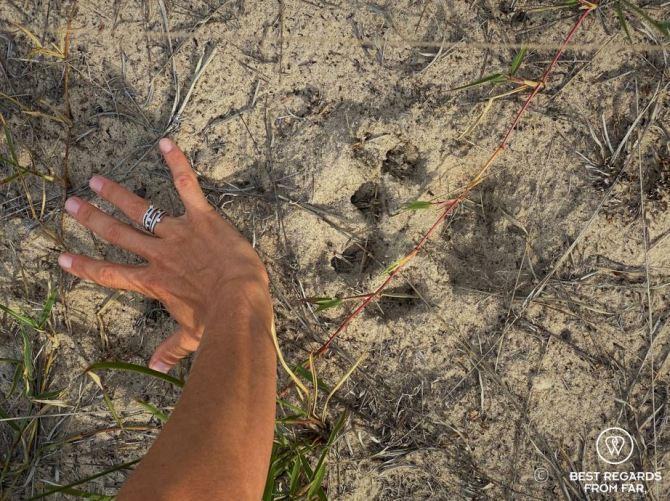 Lion track - Botswana