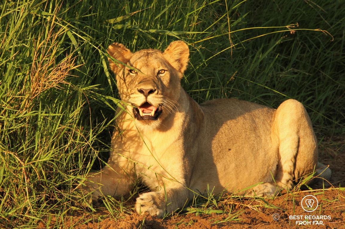 Wild lioness in the sunrise light during a safari in the Hluhluwe iMfolozi National Park, South Africa