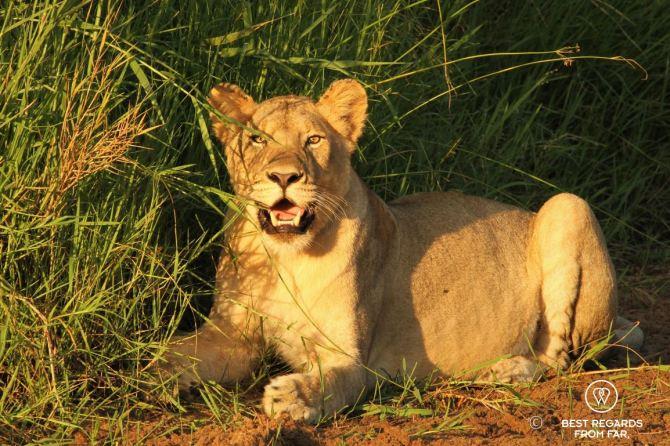 Lioness at sunrise - Hluhluwe iMfolozi - Wildlife - South Africa