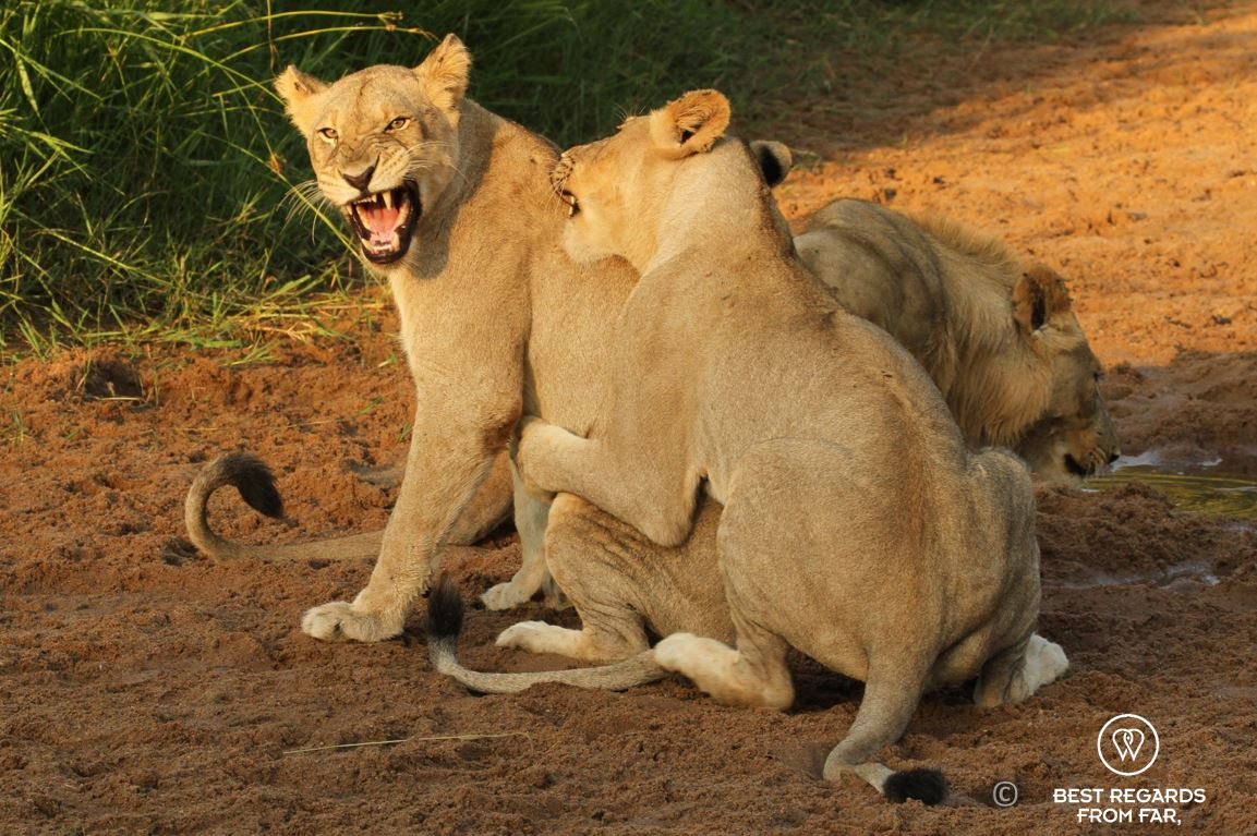 Wild daughter and mother lionesses playing during a safari in Hluhluwe iMfolozi Park, South Africa