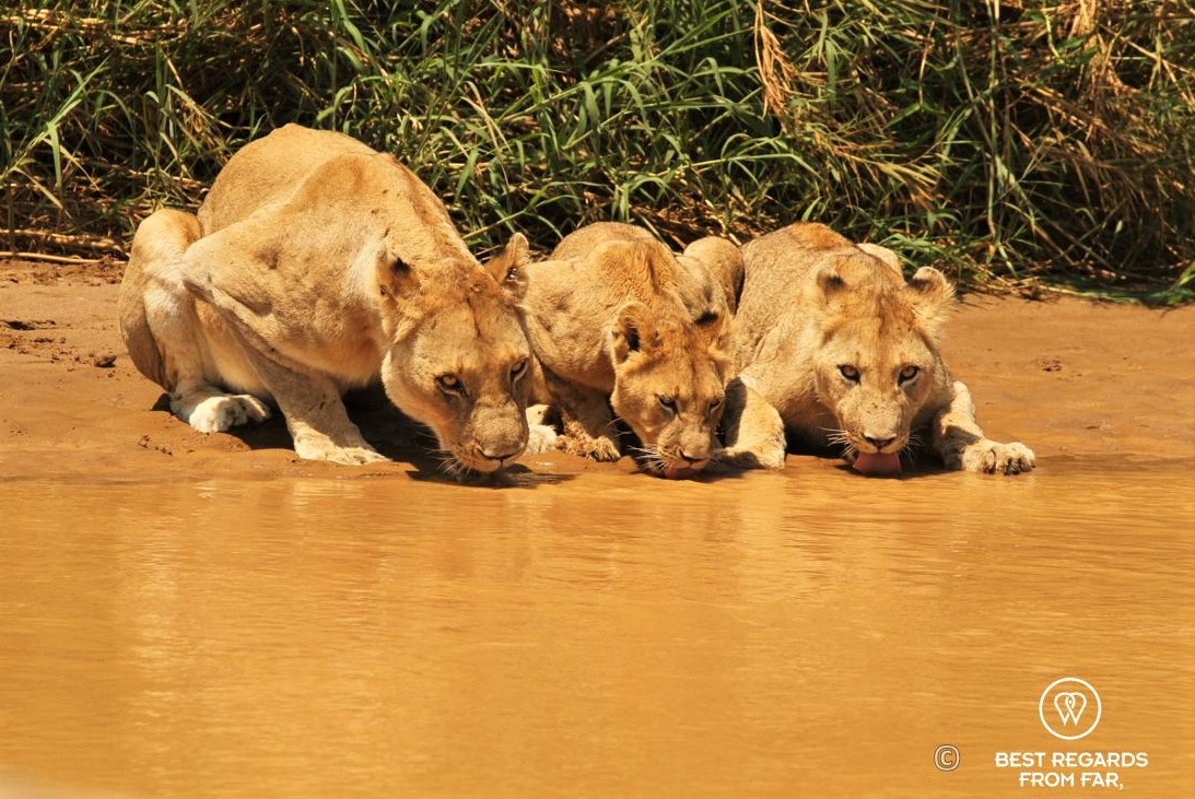 Wild lioness and cubs drinking during a safari in the Hluhluwe iMfolozi National Park, South Africa
