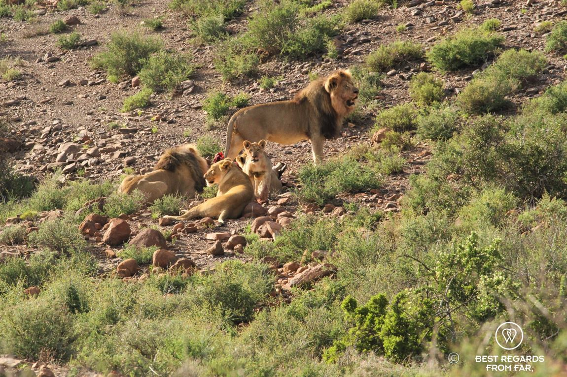 Wild pride of lions eating a just-killed Oryx Gazelle during a safari in Karoo National Park, South Africa
