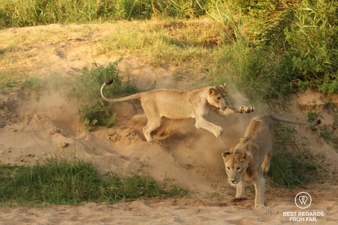 Wild lioness playing with her brother during a safari in the Hluhluwe iMfolozi National Park, South Africa