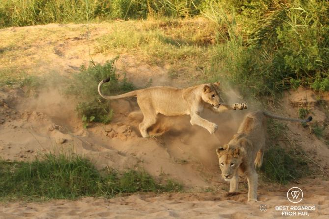 Lions fighting - wildlife - South Africa1