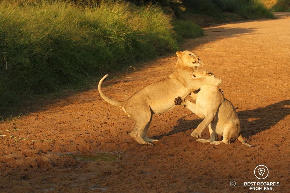 Lion cubs playing during a safari in the Hluhluwe iMfolozi National Park, South Africa