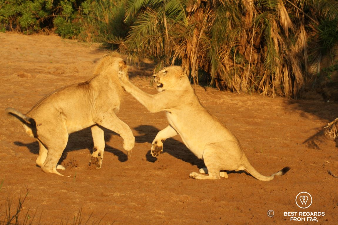 Young wild lioness playing with her brother during a safari in the Hluhluwe iMfolozi National Park, South Africa
