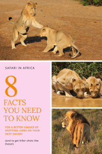 Pin with original photographs of wild lions taken during safaris in Africa and 8 facts to help you spot lions in the wild