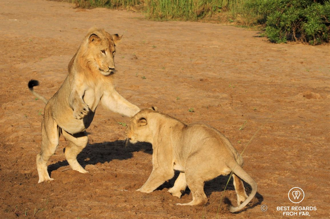 Young wild lion and lioness playing during a safari in the Hluhluwe iMfolozi National Park, South Africa