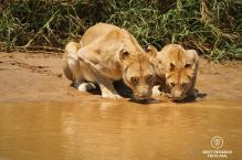 Wild lioness and cub drinking in the iMfolozi river in Hluhluwe iMfolozi National Park, South Africa, during a safari