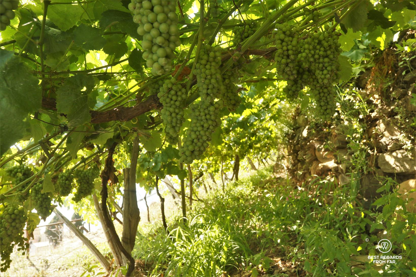 Green grapes in the vineyards of Manerola, Cinque Terre