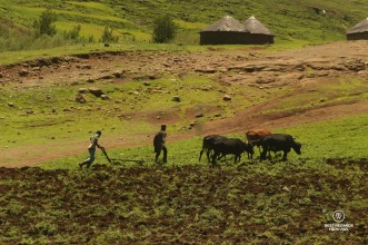 Two farmers ploughing field with oxes in Eastern Lesotho