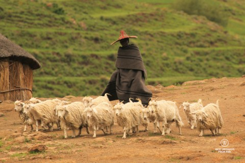 Young shepherd in traditional clothes herding his angora sheep in Eastern Lesotho