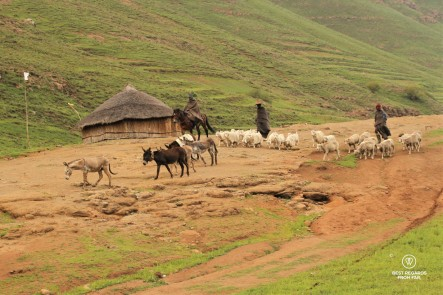 Young shepherds in traditional clothes herding angora sheep in Eastern Lesotho