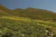 Sheering shed for mohair whool amongst yellow flowers and high mountains in Eastern Lesotho