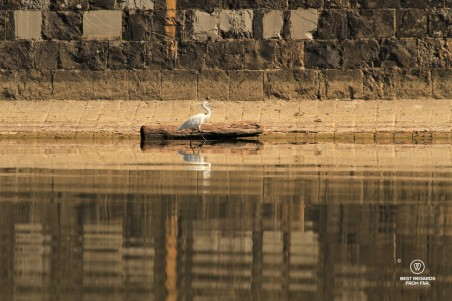 A white heron and its reflection on the Arno River in Florence, Italy.