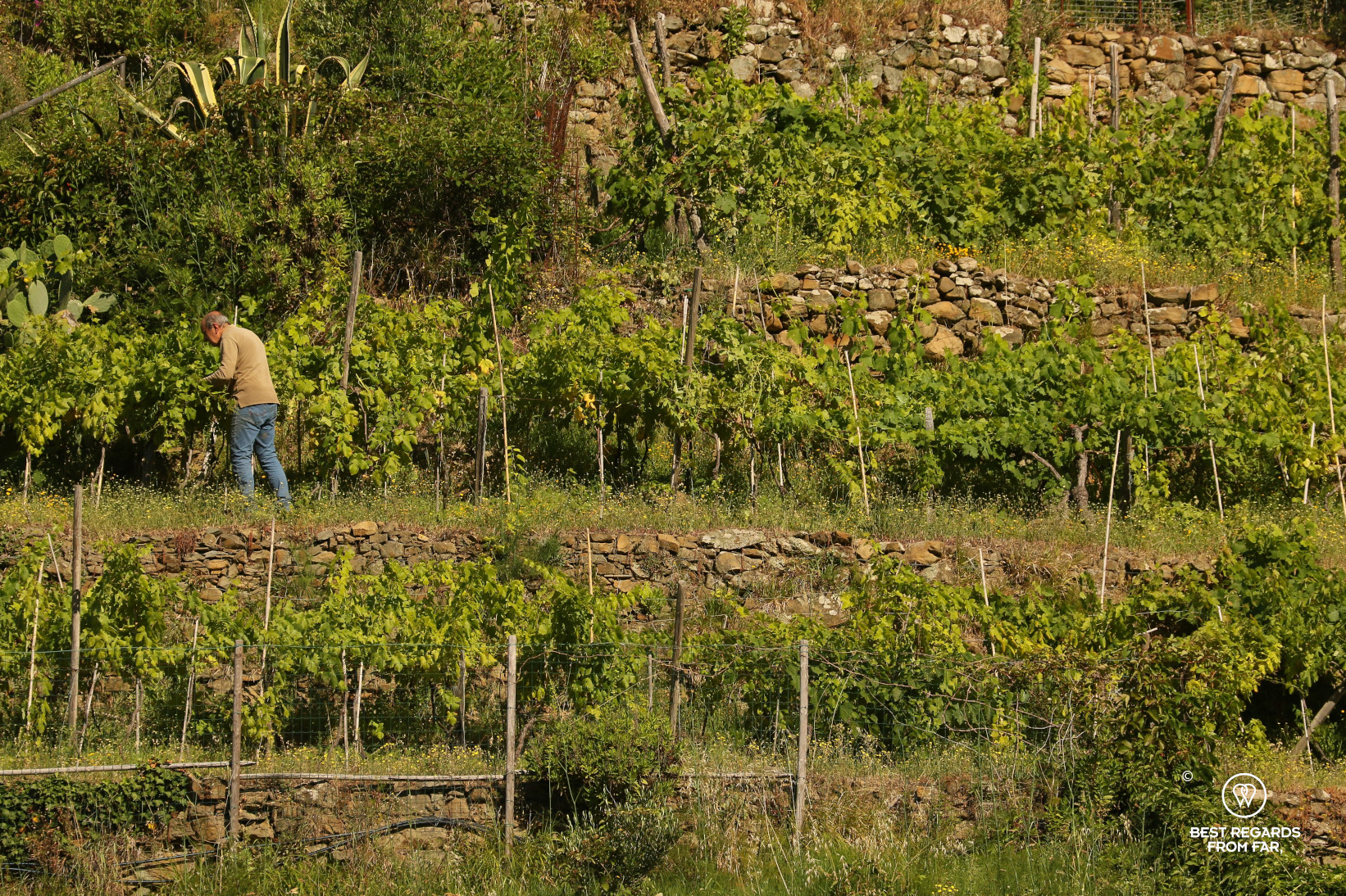 Man working his terraced vineyard in Cinque Terre, Italy