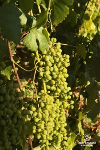 The Cinque Terre vineyards: bosco grapes in the sun