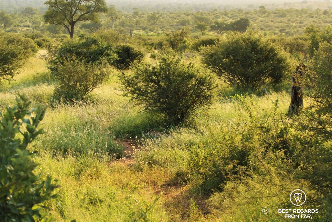 Wild leopard camouflaged in the bushes in Kruger Park, South Africa during a safari