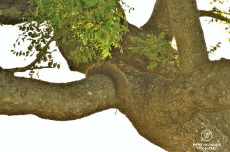 Dead baby warthog in a tree killed by a leopard in Kruger Park, South Africa during a safari