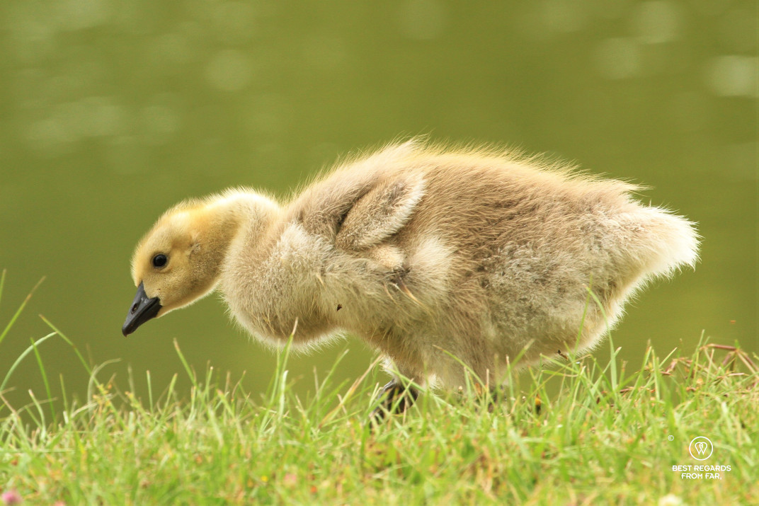 Gosling in the gardens of the castle of Vaux le Vicomte, France.