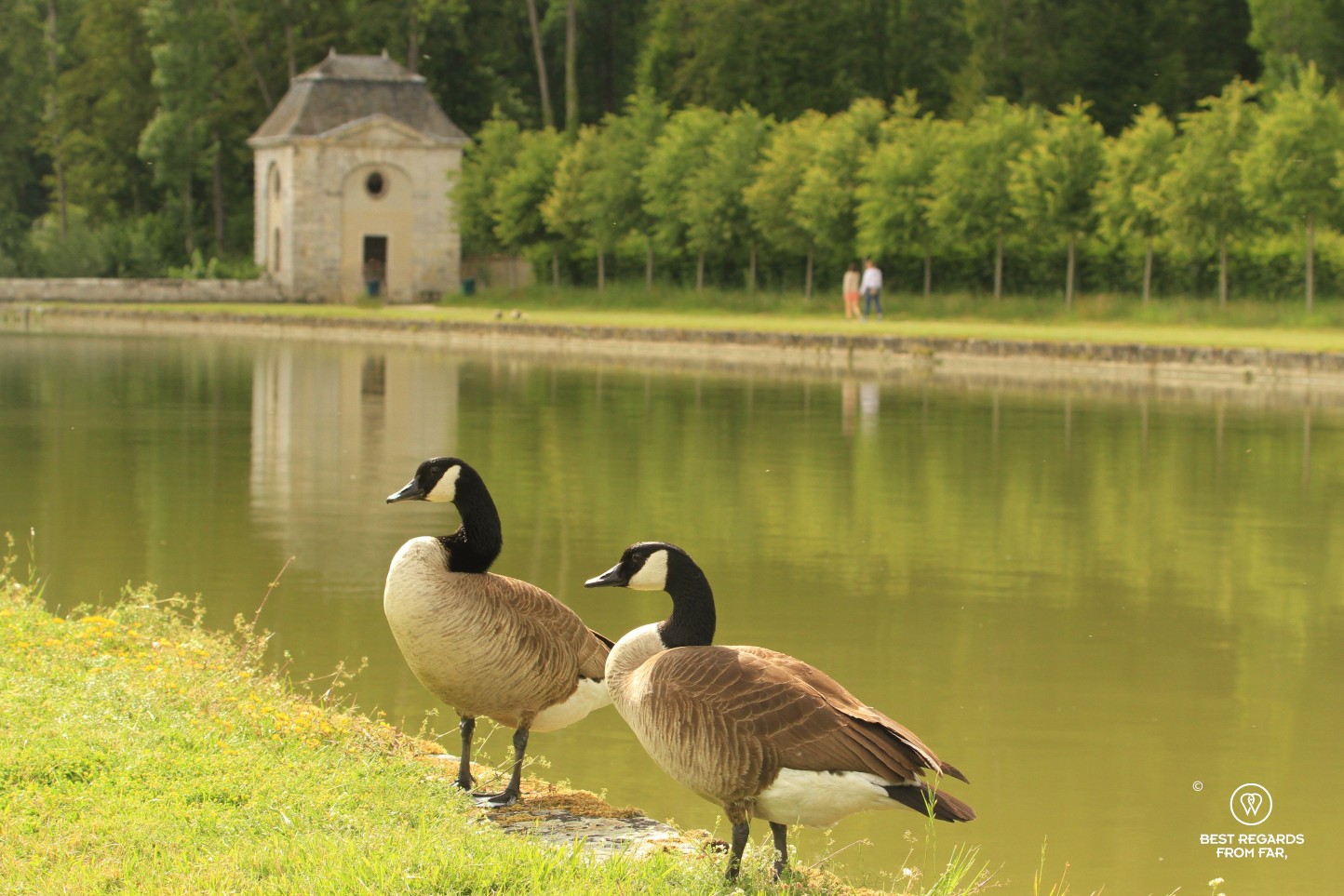 A couple of geese in the gardens of the castle of Vaux le Vicomte by the canal.