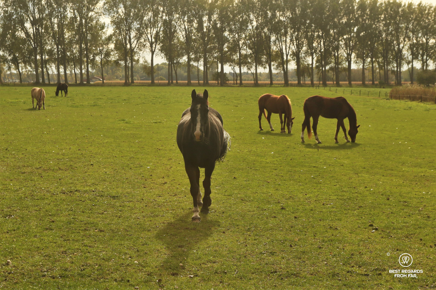 Biking to Damme from Bruges, passing by horses in fields, Belgium