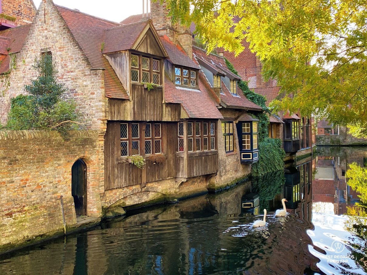 Two swans on a canal with cute medieval houses with wooden facades in Bruges