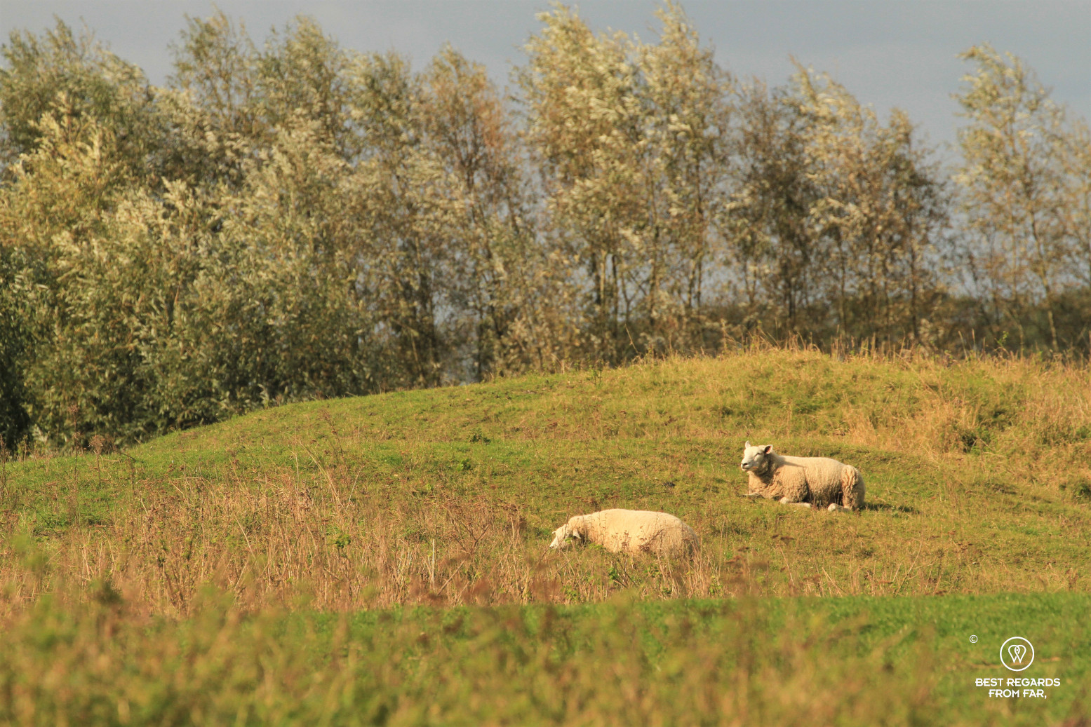 Two sheep in a hilly field in Belgium