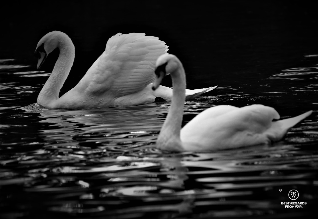 Black and white photo of two swans in Bruges, Belgium
