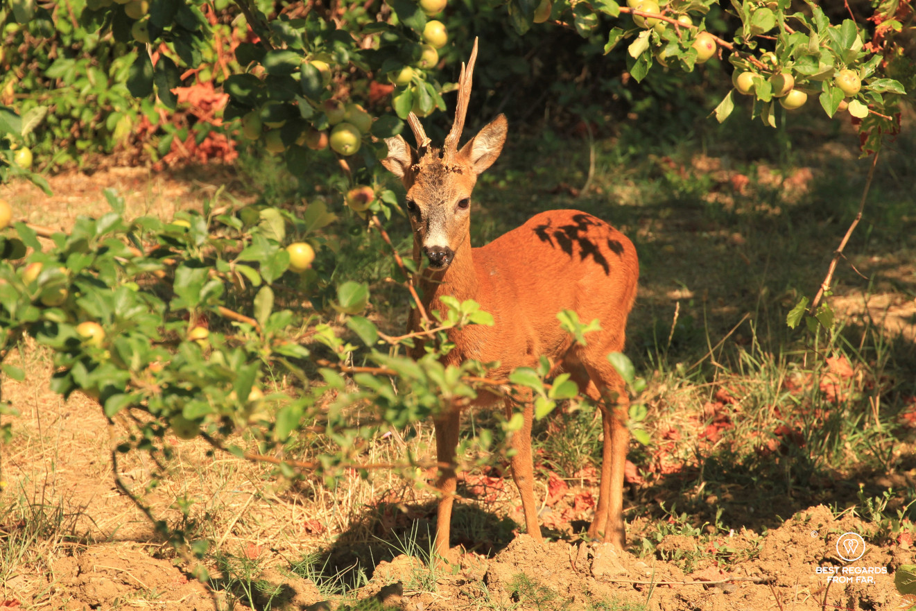 A deer underneath an apple tree in Tuscany, Italy