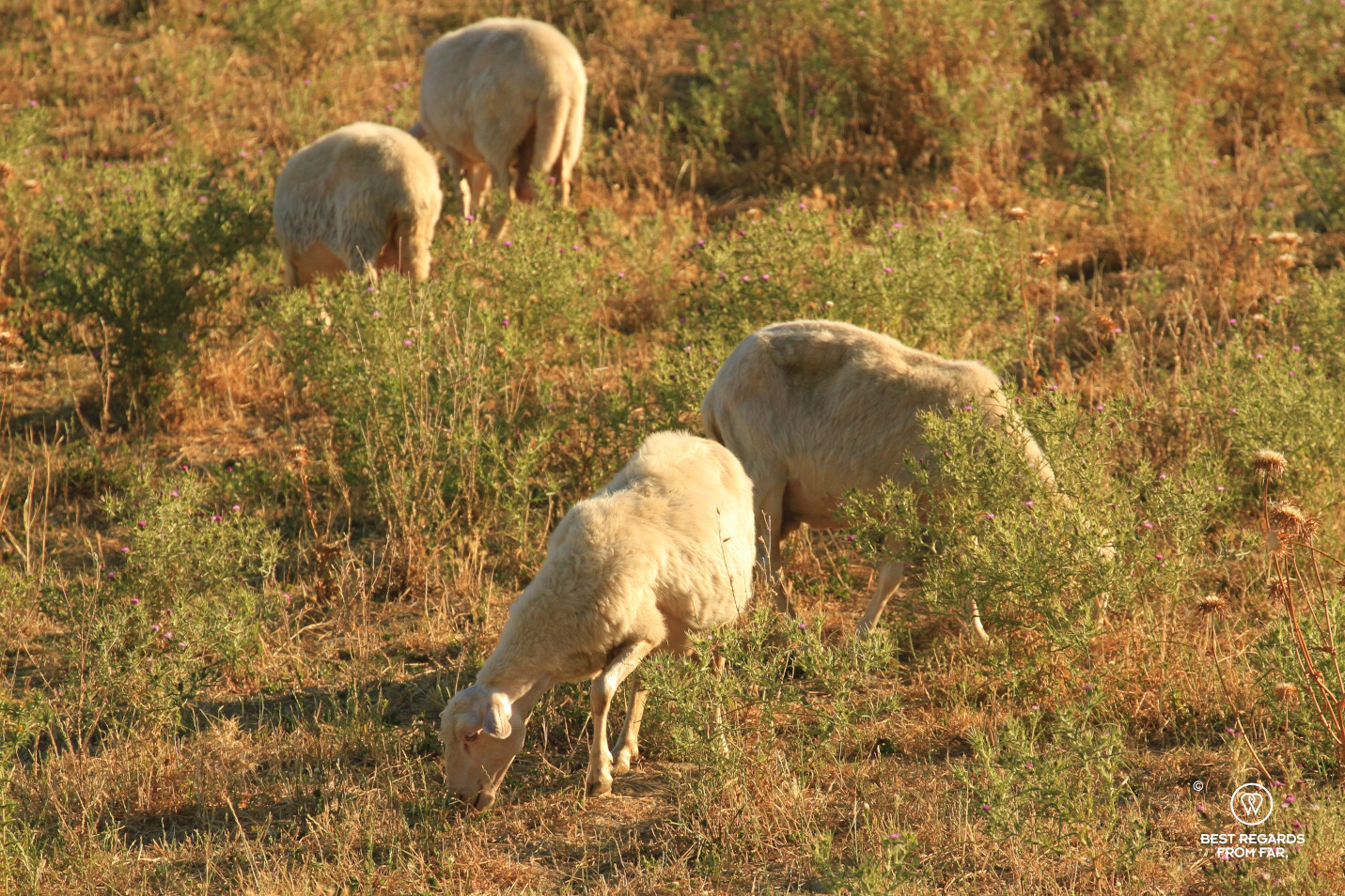 4 sheep grazing in the morning light in Italy